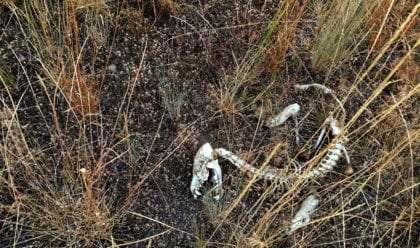 dead coyote bones in a field