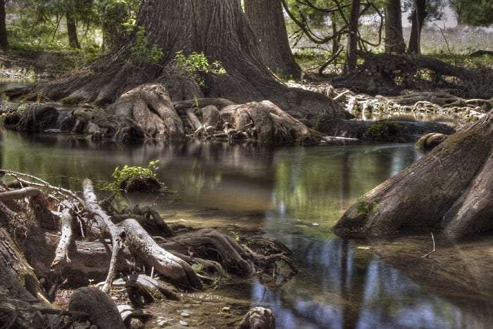Big Cypress knees along the river in Boerne