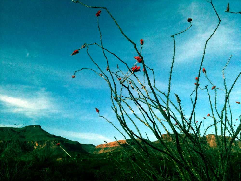 typically a grey, thorny and dead looking straggle of sticks, a springtime ocotillo is velvety green and, given the right conditions, blooms vivid red against an oft-otherwise barren landscape.