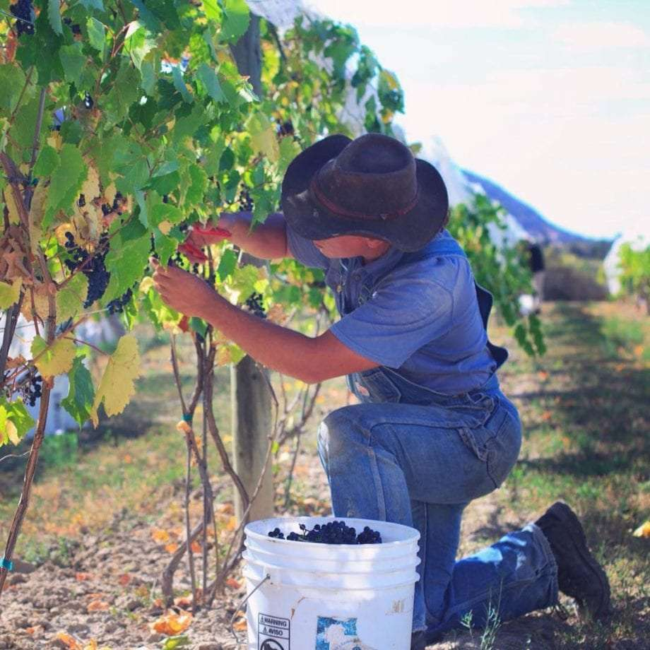 a man in a cowboy hat and denim picking grapes