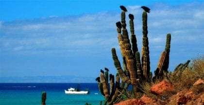seven vultures sit atop a cactus near La Paz, Baja California Sur