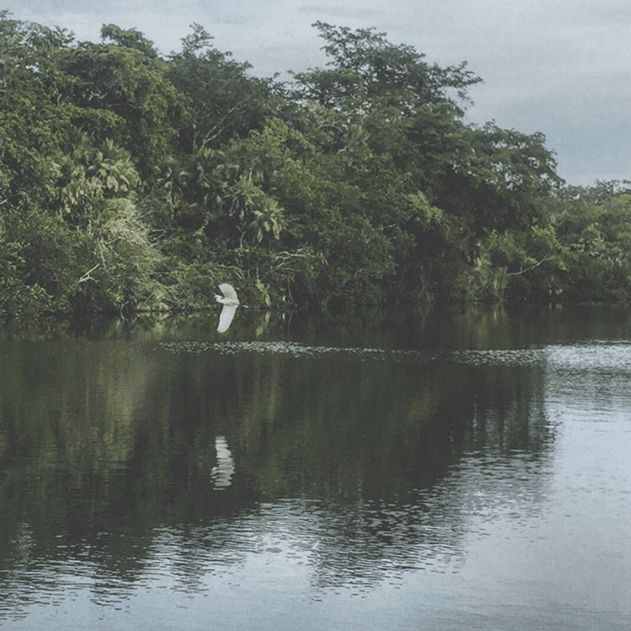 a white egret flies over a river in belize