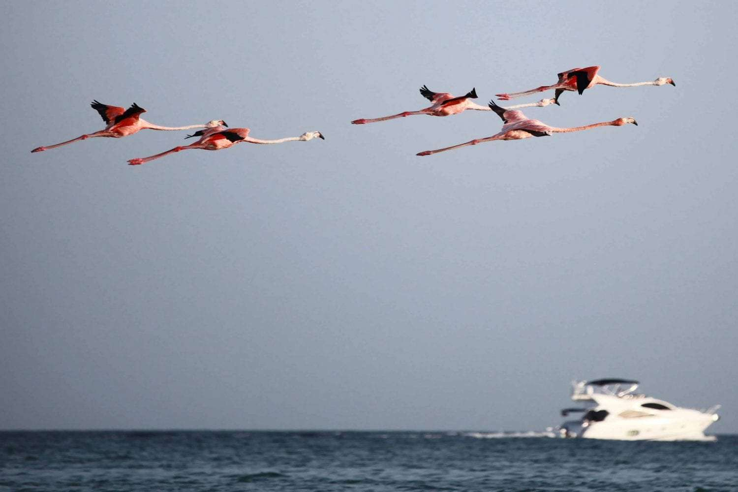 five flamingos flying above the sea, a yacht in the background