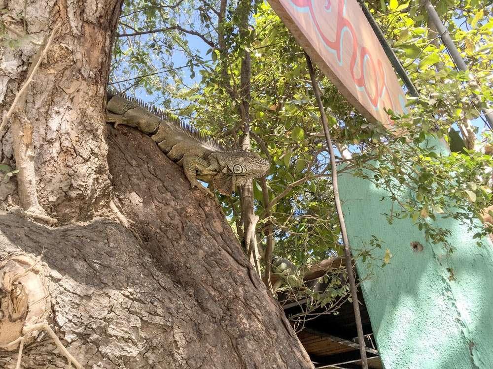an iguana in a tree
