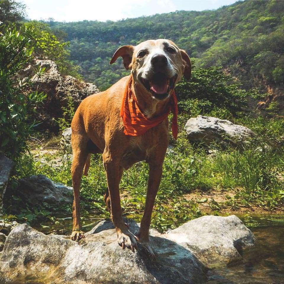 a dog in a red bandana stands on a rock in a jungle somewhere