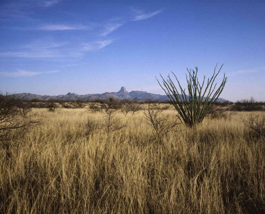 an ocotillo and sapling mesquite trees grow in a golden grassland, mountains rising up in the distance