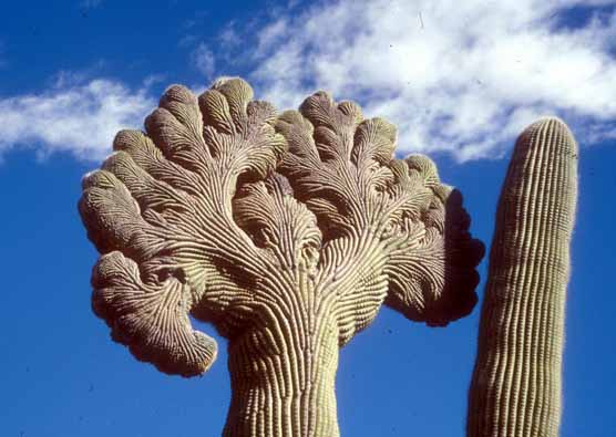 a saguaro cactus with a genetic oddity that makes the top form to look like broccoli