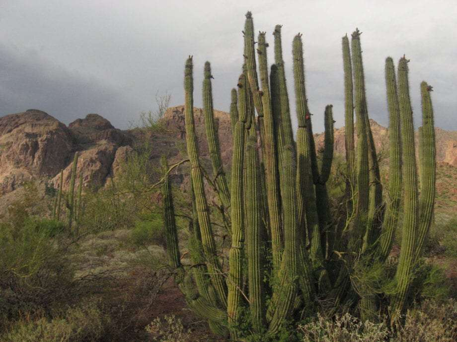 an organ pipe cactus on a rare misty day in the park