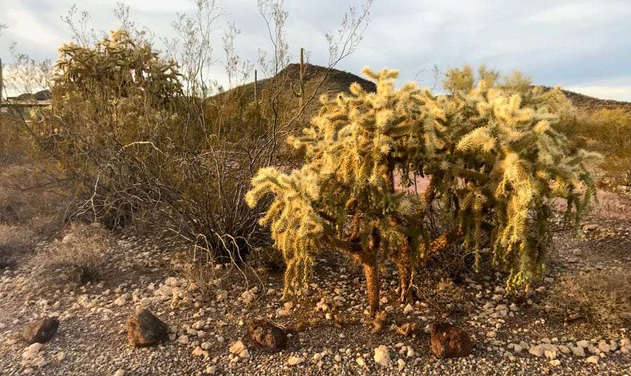a teddy bear cholla