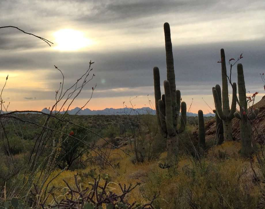 saguaros, cholla and other cacti rise in the Arizona desert