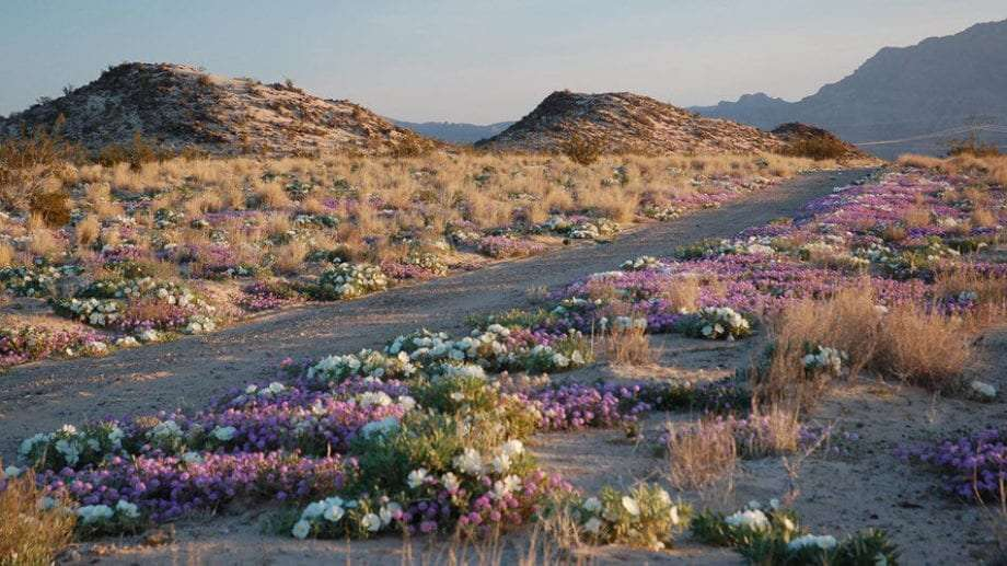 Wildflowers blooming in the Mojave.