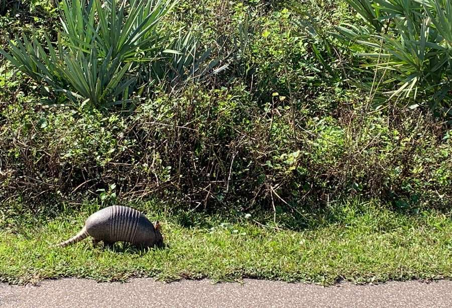 an arrmadillo in canaveral national seashore