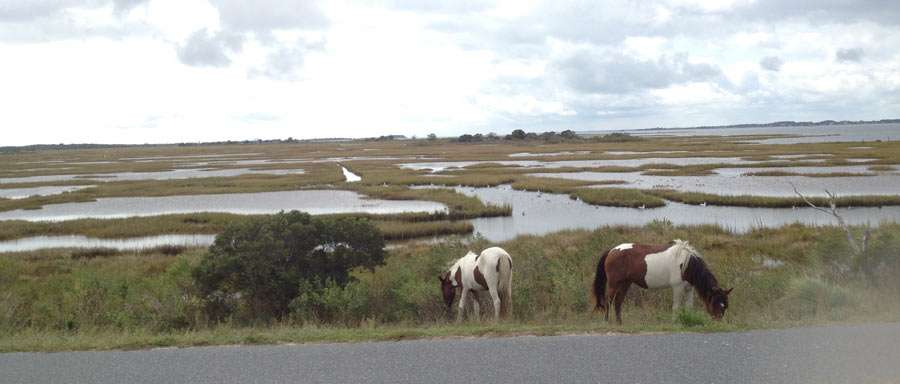 horses conglomerate near a marsh in Assateague