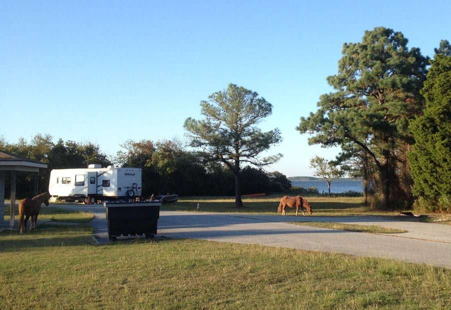 a feral horse walks through a campground