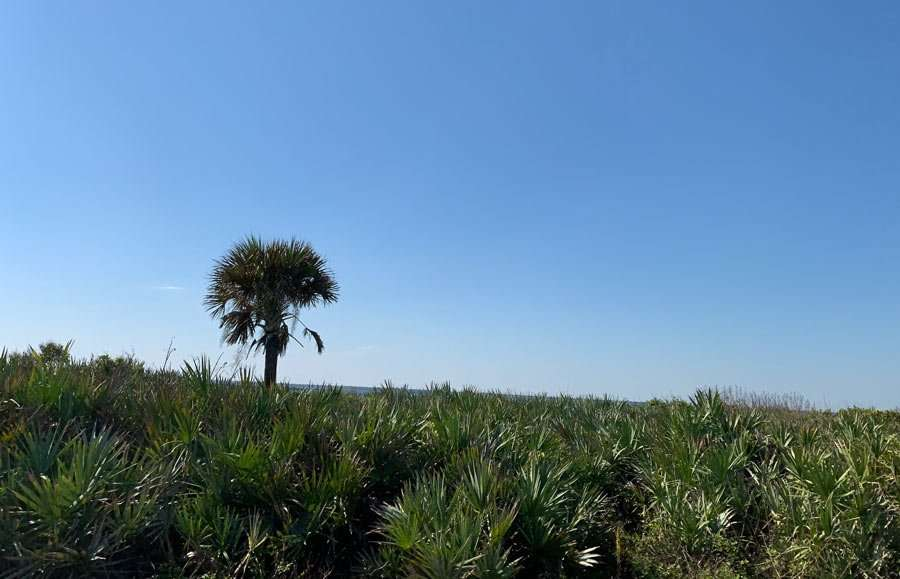 a palm rises above the scrub
