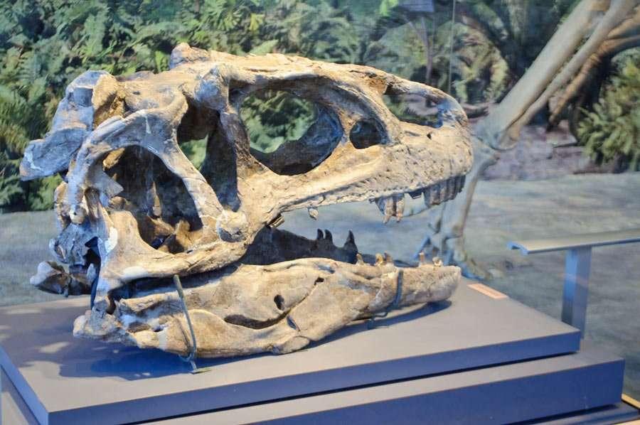 large skull of a carnivorous allosaurus dinosaur