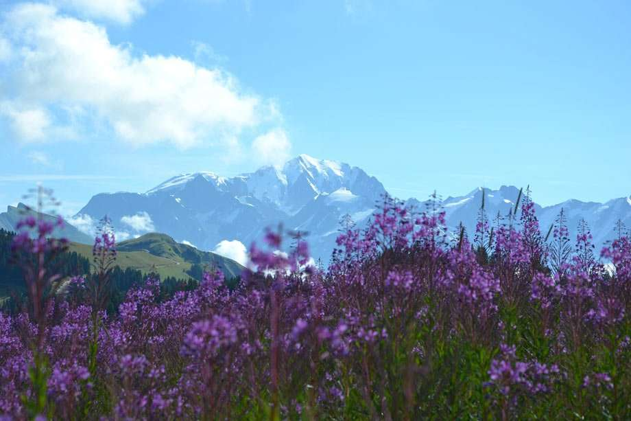 purple wildflowers race across meadowed foothills, the snow-capped Alps of France in the background