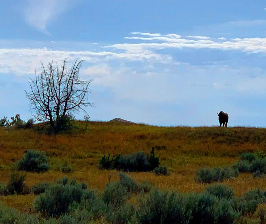 a lone bison stands atop a hill in Teddy Roosevelt National Park.