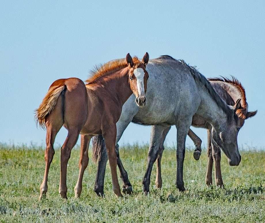 Feral horses.