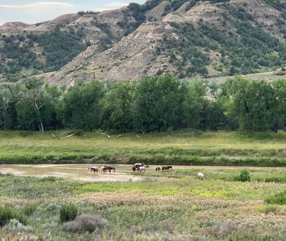 Feral horses drink from a river near Cottonwood Campground in Theodore Roosevelt National Park.