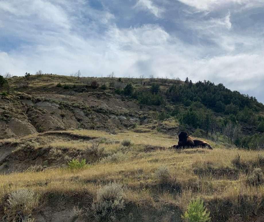 A bison rests in the grassland prairie of North Dakota.