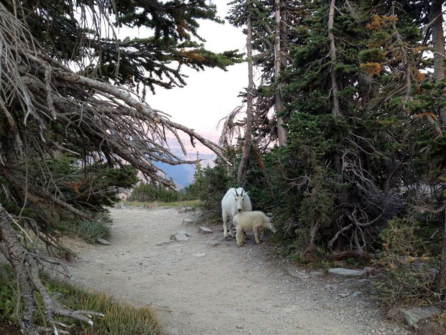 a mama and baby mountain goat on a trail