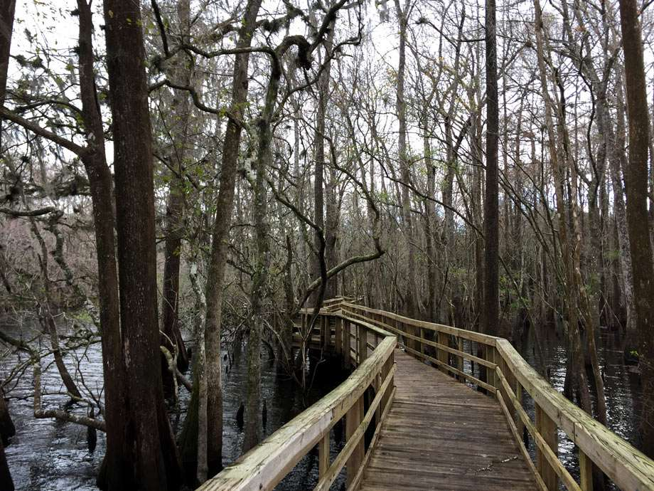 a boardwalk winds through cypress forest