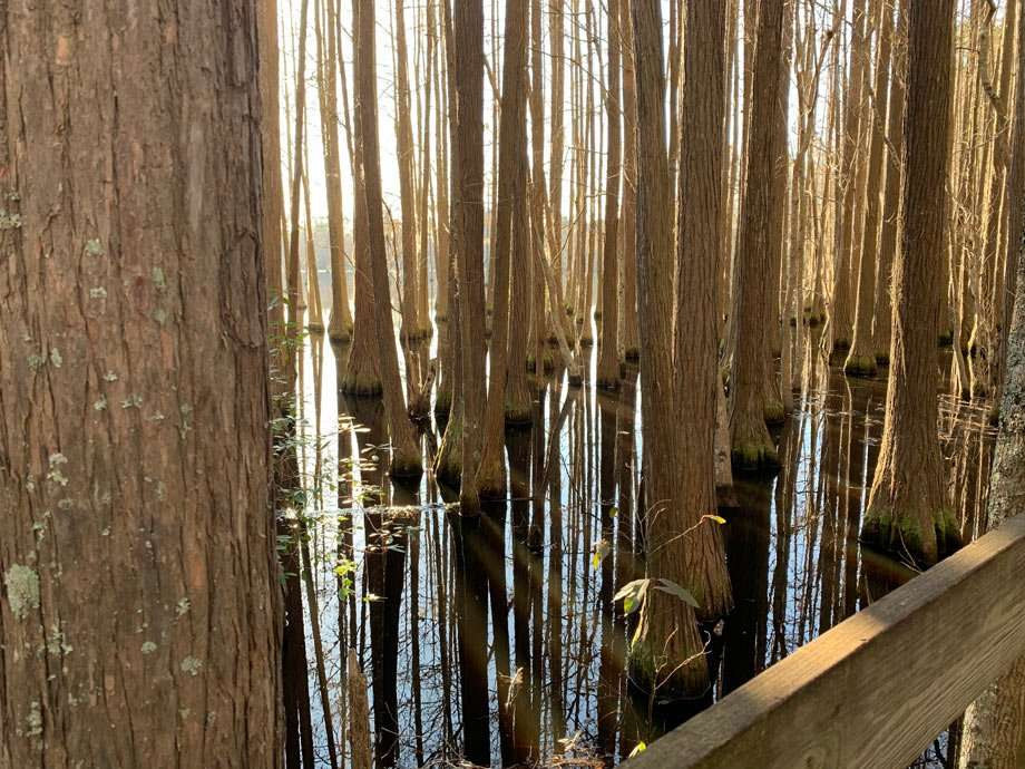 a cypress forest at George L. Smith State Park in Georgia