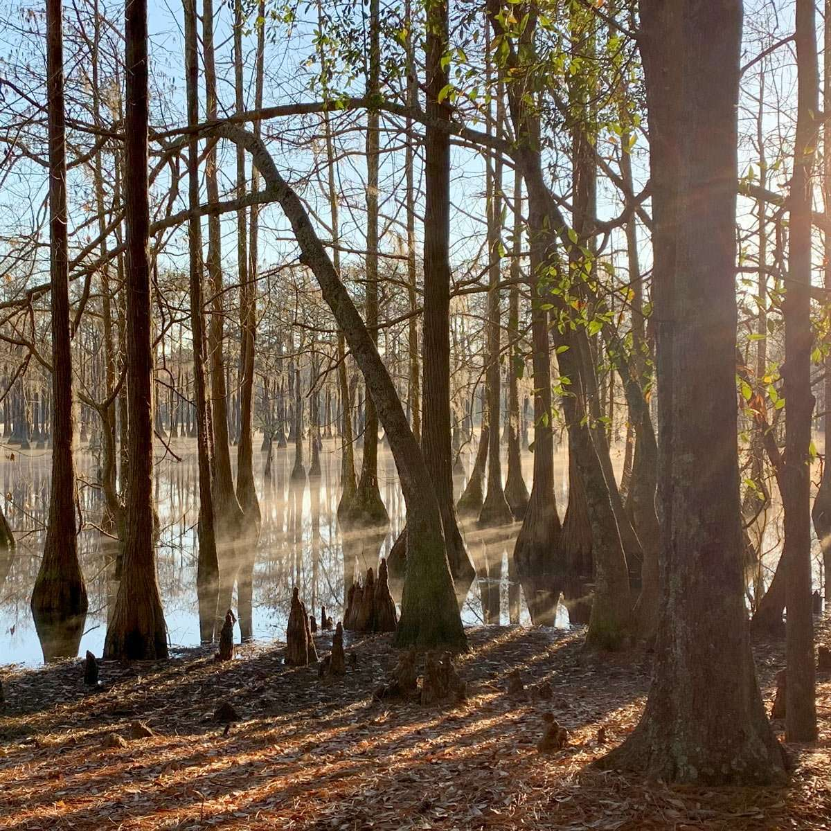 cypress trees knee their way above the surface of a pond created by an 1800s mill
