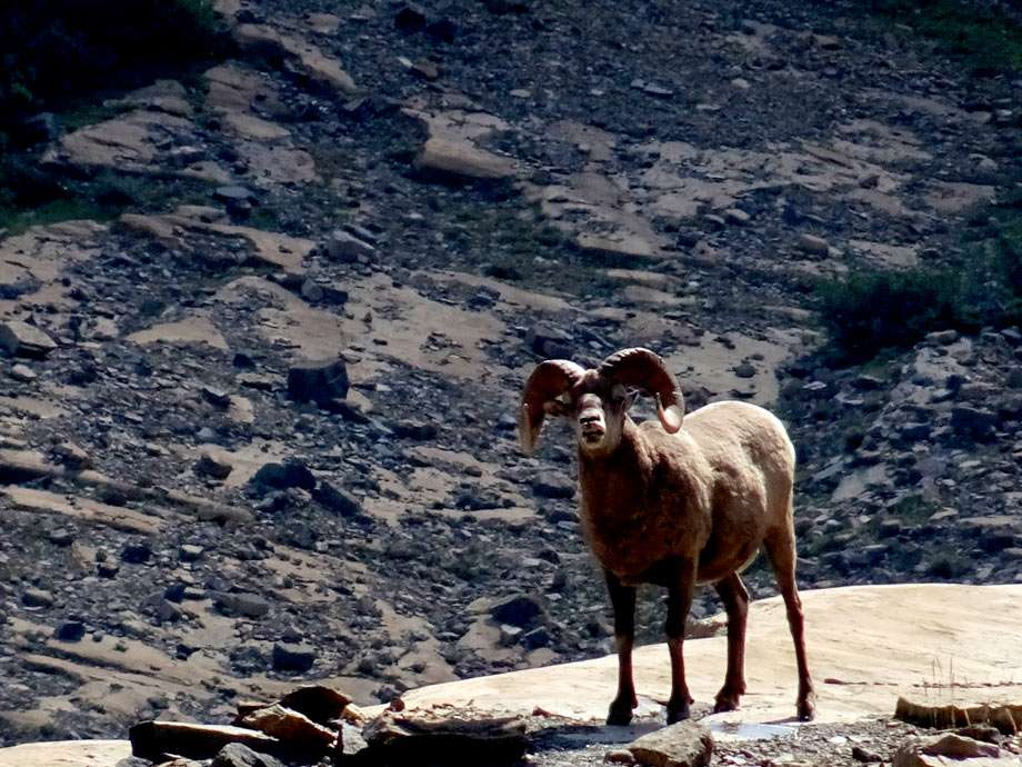 a bighorn sheep stands at the edge of a cliff