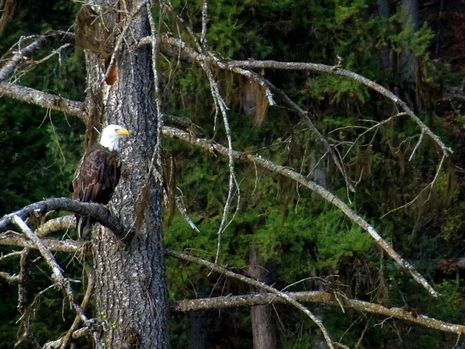 a bald eagle watches the forest from his tree
