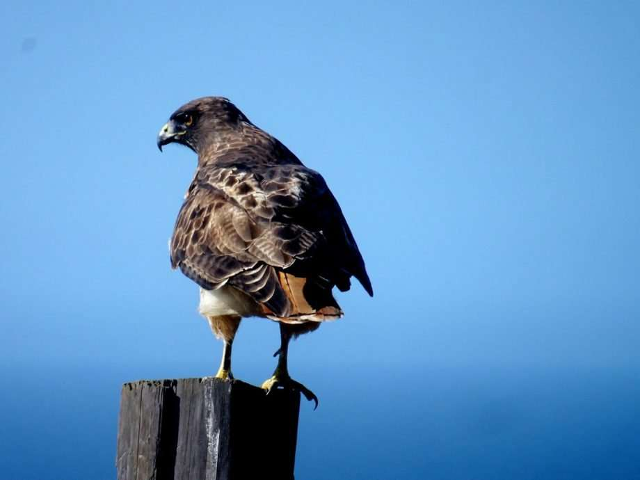 a hawk perched on a wooden post