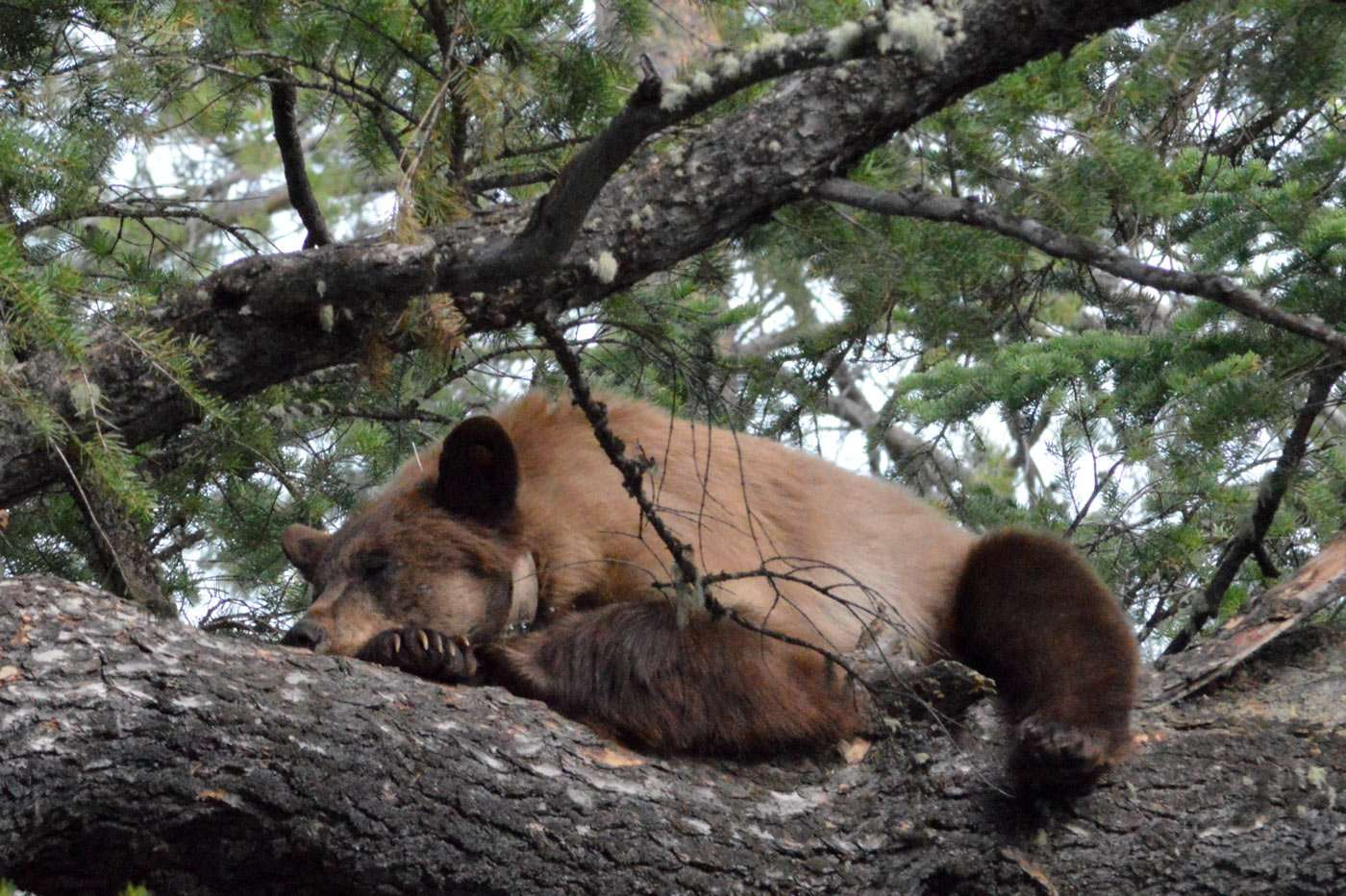 a grizzly bear sleeps in a tree