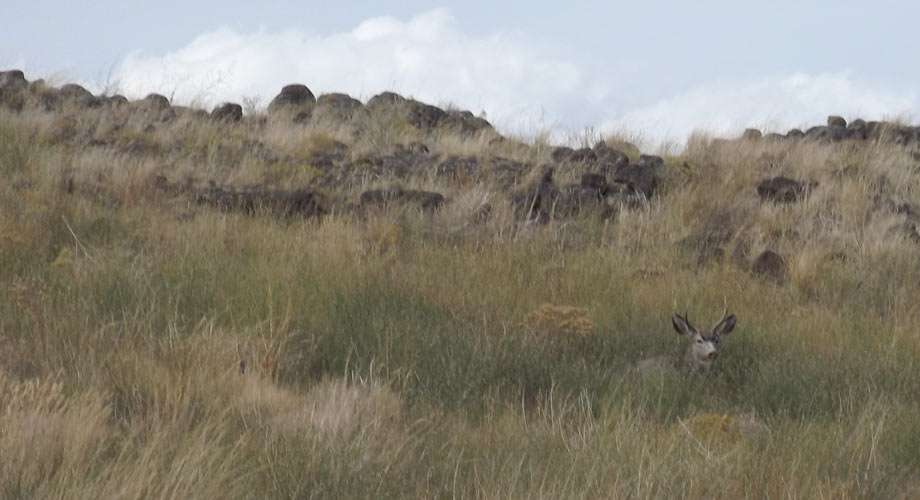 a mule deer rests in tall grasses near Craters of the Moon National Monument