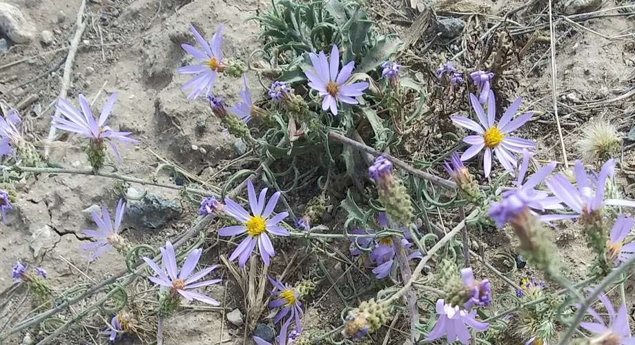 violet wildflowers near Craters of the Moon National Monument