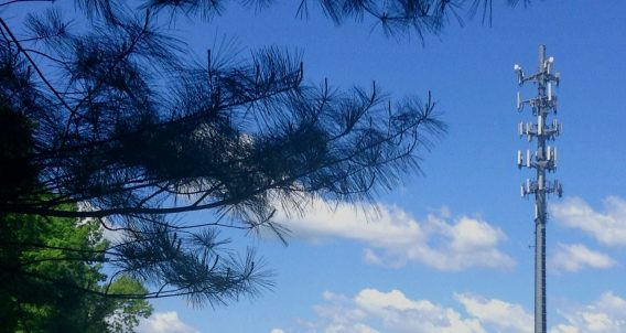 a cell phone tower rises beyond the bows of a pine tree