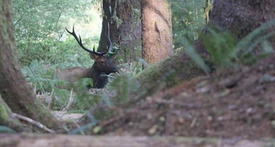 an elk resting in a forest of giant Oregon trees