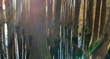 the sun shining through a cypress forest growing out of the water at a lake in georgia