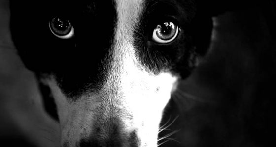 the muzzle and brilliant eyes of a black and white dog