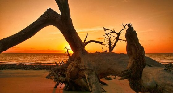 golden orange sunset silhouettes against a massive fallen oak on the beach