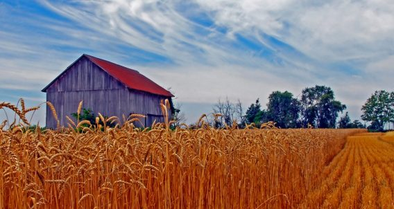 amber waves of grain float a barn with a red roof somewhere in the great plains