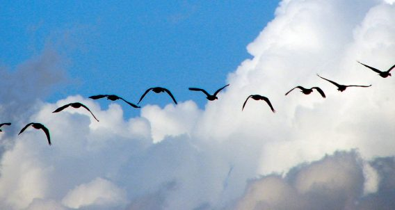 flock of geese migrating through clouds and blue sky