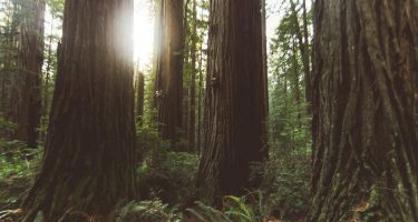 the sun peaks through the redwoods