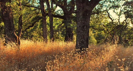 oak trees, soft sunlight beaming through their branches and falling over wheat growing in a forest