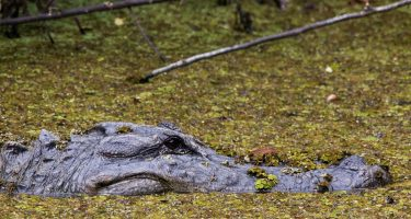 an alligator lurking in the swamps